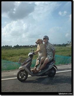 un chien fait du scooter