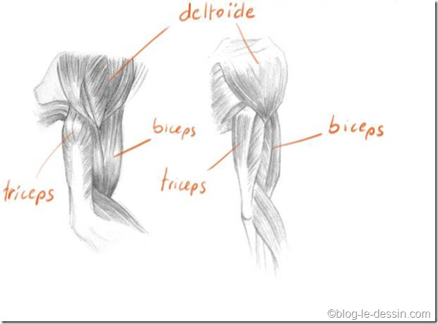 Les muscles des bras dans une posture