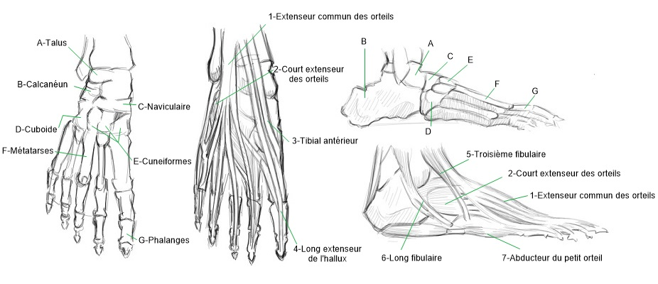 illustration anatomie pied_j