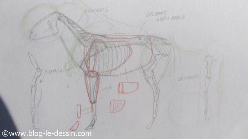 planche anatomie mesures proportions dimensions organes cheval a dessiner